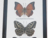 7 Real Butterfly Vertical Collection Taxidermy Frames / BTF07T
