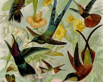 1895 Antique print of HUMMINGBIRDS, different species. 121 years old lithograph