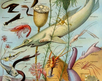 1920 Antique color lithograph of SEA LIFE: Jellies, Corals, Algae, Starfishes, Molluscs, Abyssals Fishes. 96 years old print.
