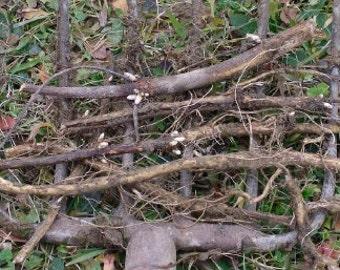 Maine-grown Willamette hop rhizomes