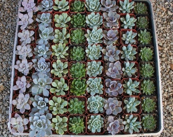 "50 ROSETTE Only Wedding Succulent collection potted in 2"" containers collection of Beautiful WEDDING FAVOR Succulents Gifts~"