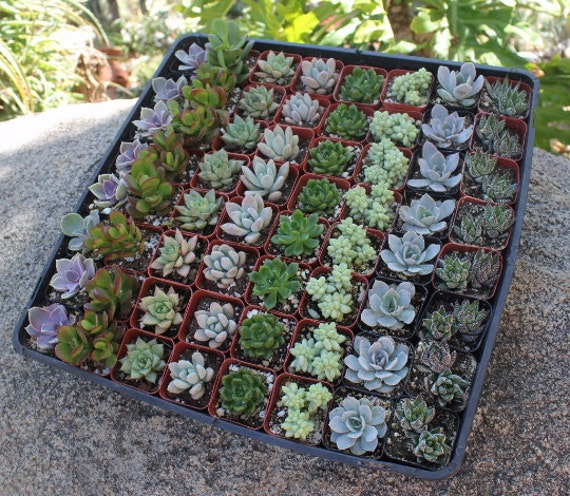 """145 Wedding collection Beautiful Succulents in their plastic 2"""" Pots great as Party Gift WEDDING FAVORS"""