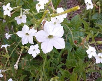 BOGO Nicotiana Aztec Sweet flower seeds organic heirloom, Flowering Tobacco, non GMO