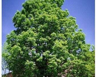 Green Ash Tree Seeds, Fraxinus pennsylvanica - 25 Seeds
