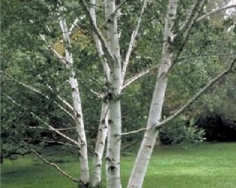 Paper Birch Tree Seeds, Betula papyrifera - 25 Seeds