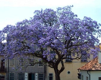 The World's Fastest Growing Tree Seeds - Royal Empress, Paulownia Princess Tree, 100 Tree Seeds