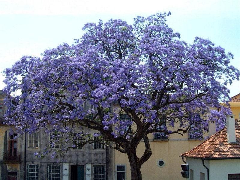 Paulownia Tomentosa Blue Royal Empress Bonsai Tree Rare 10