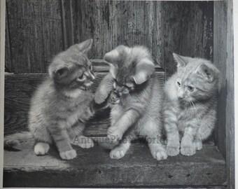 Cute playful kittens vintage art cat photo by M. Videtta