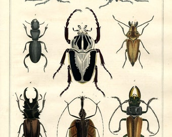 Unique original hand colored print of insects Beetles  dates from 1840 large print natural history
