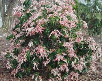 Valley Rose Pieris Japonica - Live Plant - 1 Gallon Pot