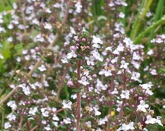 English Thyme Seeds, Herb Seeds, Herb Garden, Windowsill Garden, Indoor  Garden,