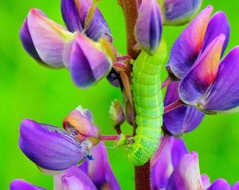 Hungry Catapillar Eating Lupine, photography, macro, wall art, green & purple