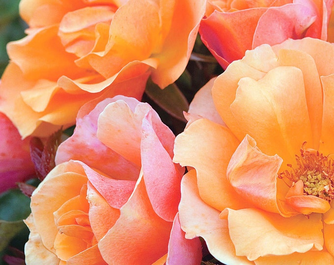 Tequila ™ Rose Bush -Apricot Flowers All Summer Long - Grown Organic Potted Own Root Rose Bush
