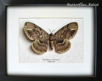 Huge Real Owl Brahmaea Hearseyi Moth Framed In Museum Quality Display