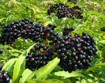 Cold Hardy Sampo Elderberry plants, very well rotted plant 1 year old, bareroot