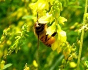 100 Seeds, Melilotus officinalis, bees, beekeeping, Honey