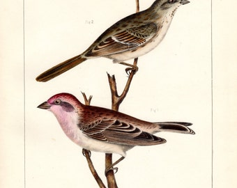 Antique Bird Print 1860 Cassin's Purple Finch and Moutain Song Sparrow  Birds of North America Color Large Lithograph John Cassin