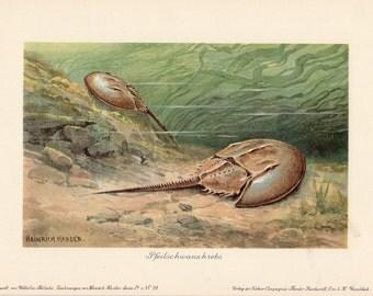 1900 Antique Print Horseshoe Crab Prehistoric Jurassic Period Heinrich Harder Lithograph Marine Life Sea Life