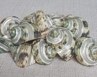 Beach Decor, Seashells, Shells, Craft Shells, Turbo Shell, Silvermouth Turbo, Pearl Turbo Shells, Specimen Shells