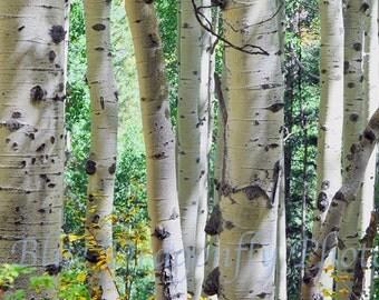 Colorado - Aspen Trees - Trunks - closeups - Nature Photography - Fine Art