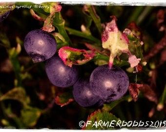 Vaccinium myrtillus 'Bilberry' [Ex. Co. Durham] 100+ SEEDS