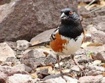 Spotted Towhee Photo | West Texas Bird Photography | Songbird on Rocks | Chihuahuan Southwest Desert Art | Black Orange White Nature Print