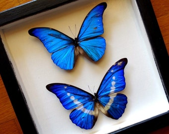 Real 2 Blue Morphos Framed - Taxidermy - Brilliant Morpho - Taxidermy - Home Decoration
