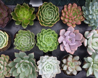 Succulent Plants. Assortment of 16 Gorgeous Succulents in pots. Wonderful grouping for weddings and shower favors.