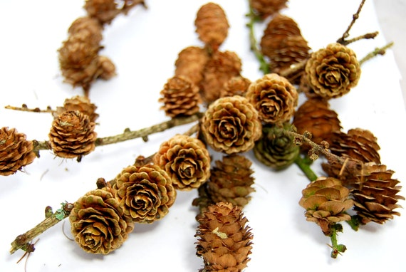 Branches with cones larch cones on branches cone sticks small larch cones on branches cone sticks small cones on branches cones for florist or decor mini cones on sticksupplies from scandicreations on etsy sciox Image collections