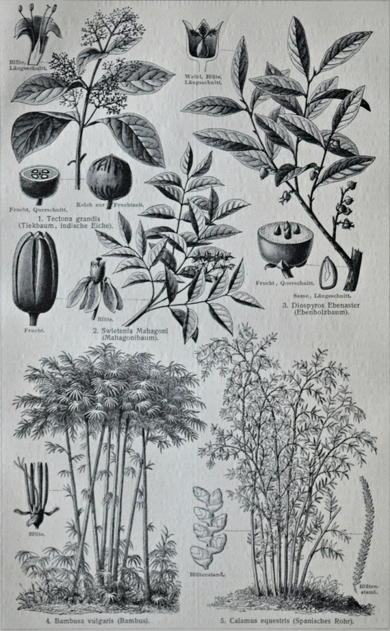 Plants used in industry. Botany print. Old book plate, 1904. Antique  illustration. 112 years lithograph. 9'6 x 6'2 inches.