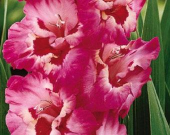 10 Gladiolus Vandohla bulbs