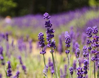 "Original Photography - ""Lavender Fields"""