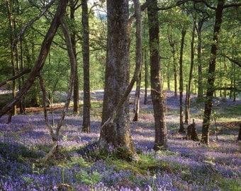 Bluebell wood, Lake District, UK