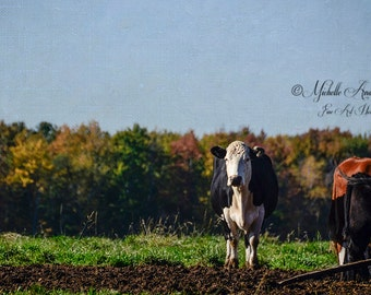 Are You Looking At Me / Fine Art Photograph / farm animal / fpoe /  room decor/ Wall art / gift / decor / Cow / Country/ livestock