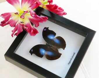 Butterfly Real taxidermy framed Napeocles jucunda in shadowbox