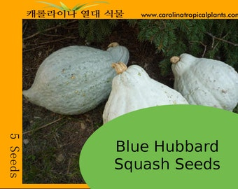 Blue Hubbard Squash Seeds - 5 Seeds