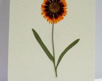 Real Pressed Flower Botanical Art Herbarium of Gaillardia Blanket Flower  5x7 or 8x10