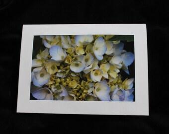 Hydrangea in Bloom 5x7 photo notecards