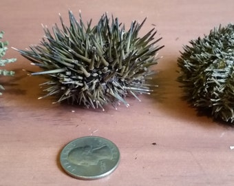 Collection of Real Sea Urchins with Spines (Small)