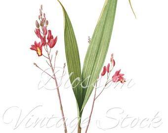 Botanical Prints - Red Flowers Antique Illustration Digital Image for Printing, Artwork, Collage INSTANT DOWNLOAD -1043