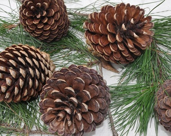 Pack of five perfect natural pinecones, pine cone decorations, crafts, rustic decor