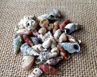 Shells for Sale, Honduran Shells, Wholesale Shells, Shell Jewelry, Auger Shells, Spiral Sea Shells, Shell Decor, Shell Crafts, Shell Earring