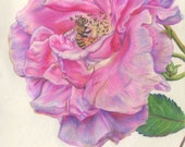 Giclee Print of Colored Pencil Rose with Bee Pollinating Flower! Available as 4 x 6, 5 x 7, and 8 x 10 inches!