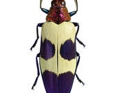 Pink/Purple Jewel Beetles, Real Dried Beetle Insect Unmounted Chrysochroa buqueti rugicollis