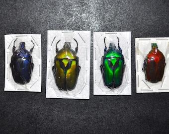 Flower Beetle Rainbow Quartet