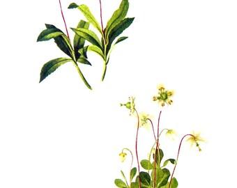 Pipsissewa, Prince's Pine, Wintergreen, Pyrola - Flower Print - 1950's Vintage Botanical Illustration - Vintage Book Page - 2 Sided - 12 x 8