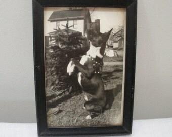Vintage Black Framed Boston Terrier Dog Photograph