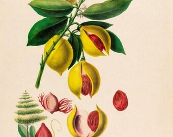 antique french botanical print noix de muscades nutmeg illustration digital download
