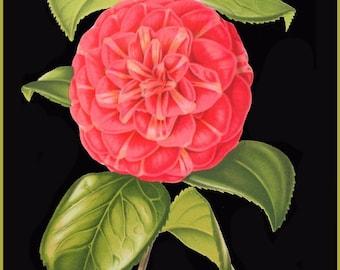 antique french botanical print red camellia black background illustration digital download