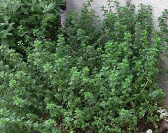 English Thyme   Thymus vulgaris    live plant,  for other plants we carry click www.etsy.com/shop/ThePlantBoutique